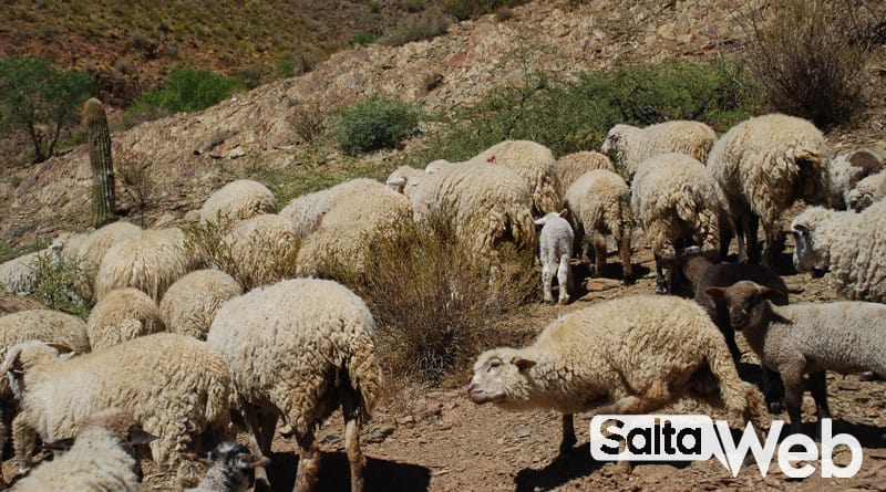 ovejas cachi adentro