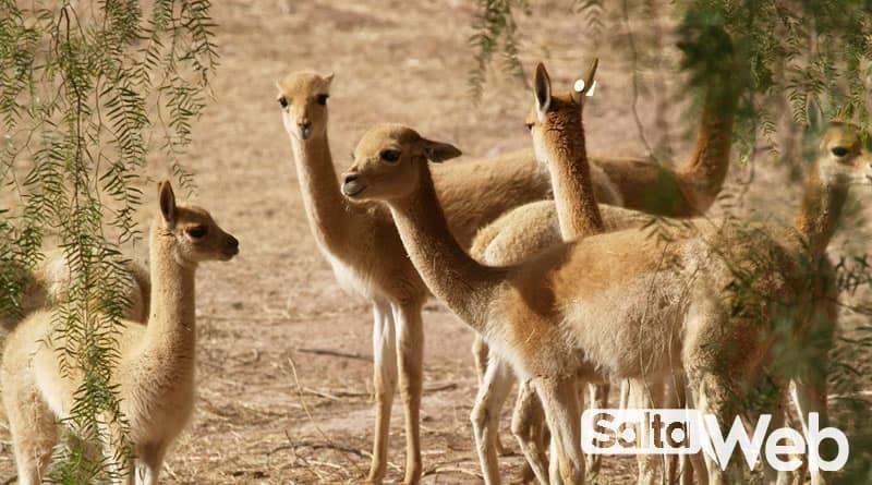 vicuñas en molinos