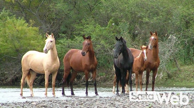 caballos salvajes en el dique cabra corral
