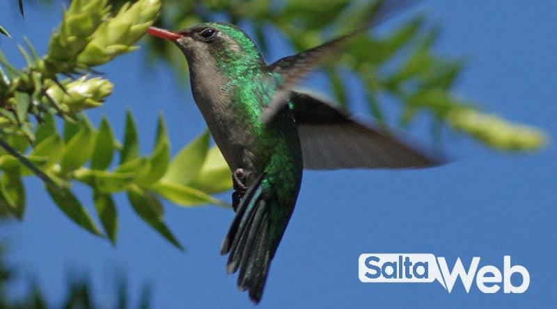 Picaflor verde común (Chlorostilbon aureoventris)