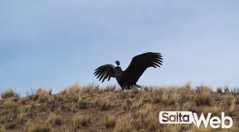 condor andino salta
