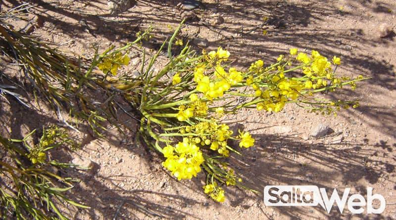 flores en cafayate
